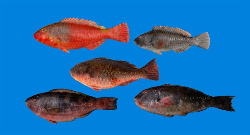La vieja del pa s sus primos y sus parientes pellagofio - Fotos de peces del mediterraneo ...