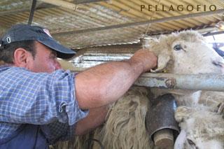 Pedro ayuda a su hermano Cristóbal a cambiar las cencerras, aprovechando el ordelo mecánico, horas antes de iniciar la trashumancia de mediados abril.