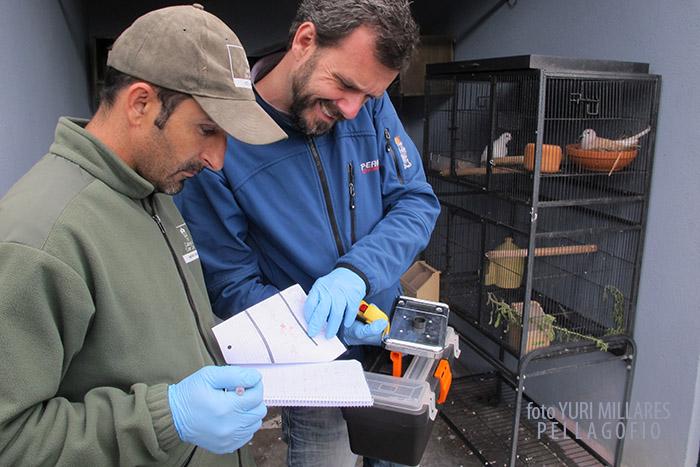 Alejandro Suárez, veterinario del proyecto Life+Rabiche comprueba cada día la evolución de los huevos (desarrollo del embrión y peso).
