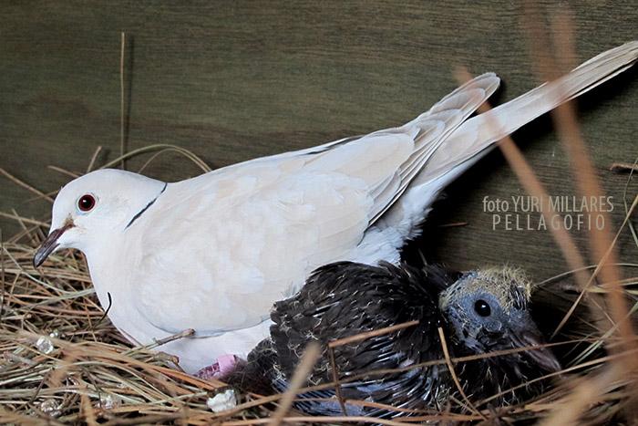 Pese a la diferencia de tamaño, las tórtolas crían sin problema a los pollos rabiche. Cuando se indpendizan, llegan a pesar el doble que los 200 gramos de su madre adoptiva.