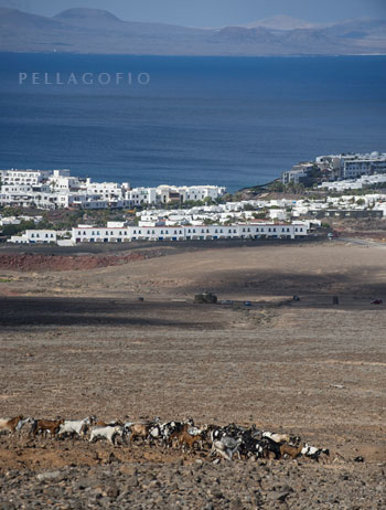 El ganado de la quesería Los Ajaches camina con una urbanización turística a la vista y, al fondo, la isla de Fuerteventura.
