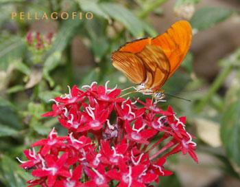 El color naranja identifica a esta mariposa julia./ Y. M.
