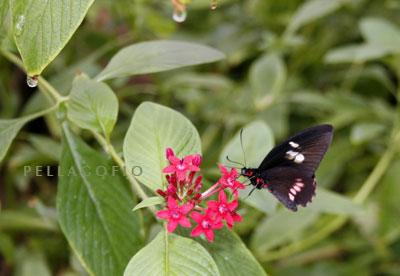 La 'Parides iphidamas' es muy común en Costa Rica./ Y. M.