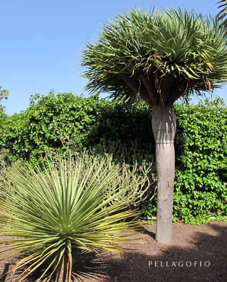 Uno de los dragos 'tamaranae' del Jardín Canario y, detrás, un ejemplar de mayor porte del 'Dracaena draco', donde se aprecia la diferencia en las hojas (leer diferencias en el artículo)./ FOTO YURI MILLARES