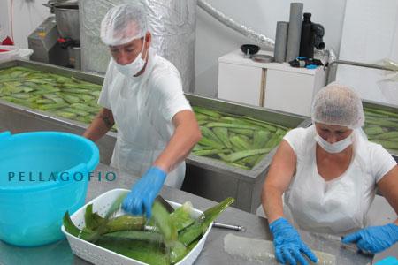Laboratorio donde se procesa el Aloe Vera Costa Canaria, para transformar la pulpa en zumo. | y. m.