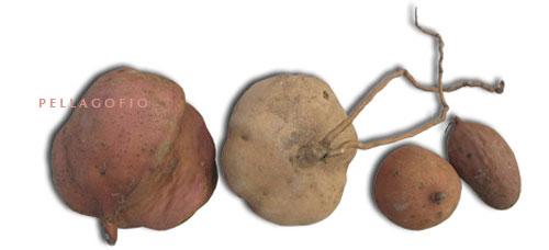 Algunas de las batatas que cultiva Francisco en Mozaga.| FOTO Y. M.