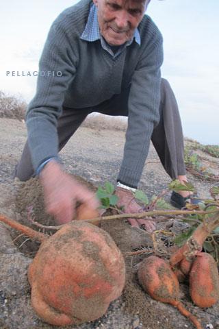 Francisco de León escarba en el jable para sacar unas batatas.| FOTO YURI MILLARES