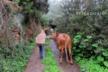 Las vacas suben el camino de la Esperanza en medio de una persistente llovizna.| FOTOS YURI MILLARES