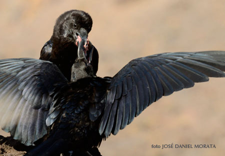 Ceba de un cuervo canario adulto a un pollo volandero.| FOTO JOSÉ DANIEL MORATA