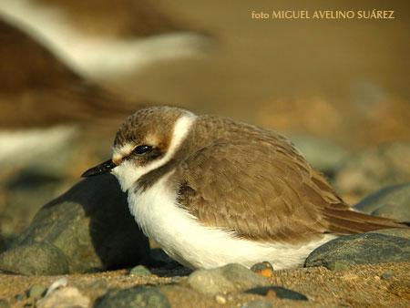 Chorlitejo patinegro en la arena, donde pone sus nidos.