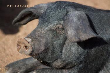 Cochino negro en la Granja El Tío Isidro.| FOTO TATO GONÇALVES