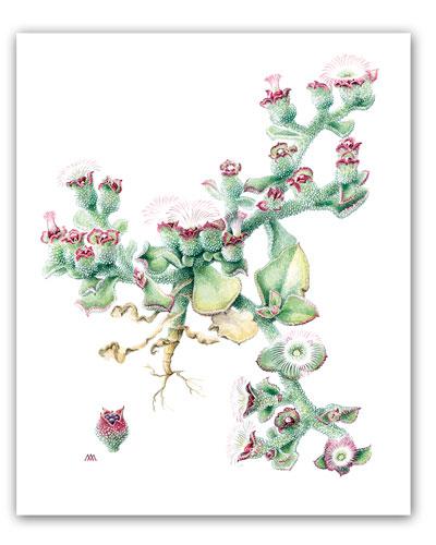 Una de las láminas de Mary Anne Kunkel en 'Flora de Gran Canaria'.