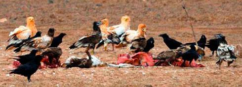 Comedero con guirres y cuervos en Fuerteventura.| FOTO PROYECTO LIFE