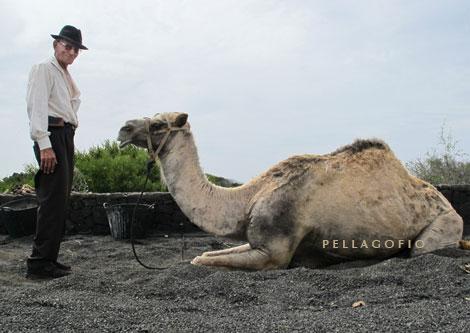 Juan Brito y su camello. ¡Todavía tiene uno!, que se emplea para mover una tahona en la casa museo del Monumento al Campesino.| FOTO YURI MILLARES