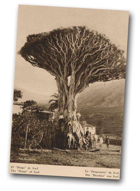 El Drago de Icod en una imagen tomada en la década de los años veinte del siglo XX.