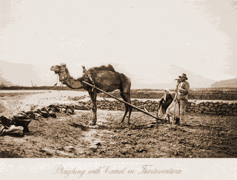 Arando con camello en Fuerteventura.| ARCHIVO DE FOTOGRAFÍA HISTÓRICA DE CANARIAS-FEDAC