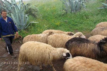 David lleva las ovejas al corral en Caideros (Gáldar, norte de Gran Canaria), un día de persistente llovizna.| FOTO YURI MILLARES