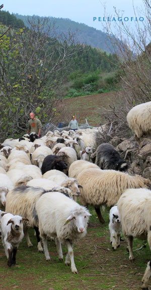 Fran saca a las ovejas a pastar tras el ordeño en el cortijo de Galeote. Detrás, su hermano Emilio le acompaña.| FOTO Y. MILLARES