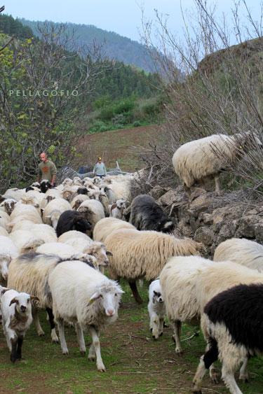 Tras el ordeño, Fran saca el ganado a las vueltas del cortijo de Galeote donde tiene los pastos.   FOTO YURI MILLARES