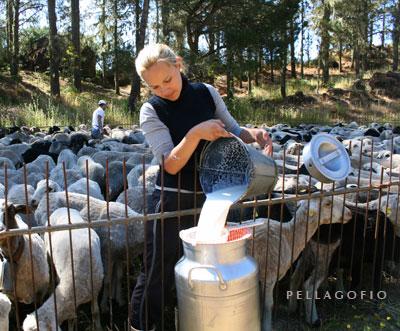Yohana durante el ordeño del ganado en la majada. Detrás de ella se ve a su hermano Francisco José.| FOTO YURI MILLARES