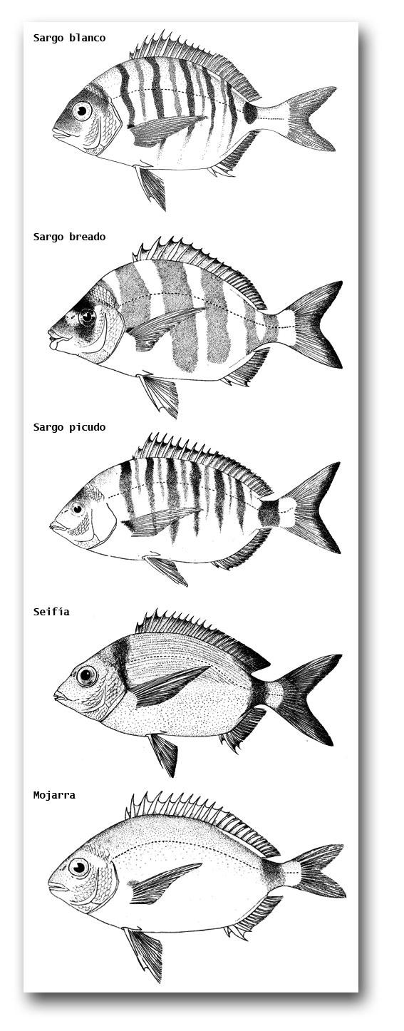 sargos-3816-1