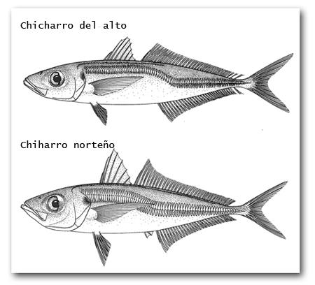 chicharros-del-alto-y-norteno-3916-1