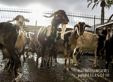 Lote de cabras de la propia ganadería a punto de entrar a la sala de ordeño. | FOTO TATO GONÇALVES