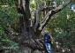 Quizás 17 metros no sean mucho para un árbol, pero en el caso del madroño posiblemente sea su máxima altura posible.