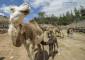 Una de las camellas de Oasis Park dando de mamar a su 'guelfo' (cría de camello en el habla de las Islas).   FOTO TATO GONÇALVES