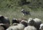 'Dike', el lobito herreño del pastor Pedrín Quintero, corre para reunir y llevar el ganado al corral en los llanos de Nisdafe. | FOTO TATO GONÇALVES