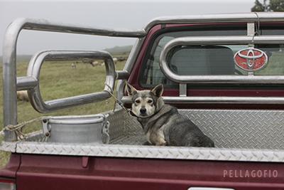 Uno los perros lobo de El Hierro en la camioneta de un ganadero a su paso por Jinama. | FOTO ISIDORO JIMÉNEZ