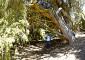 Se sabe que el cedro es una especie muy longeva y el de Arico, al menos, debería sumar 400 años, aunque puede que muchos más. | FOTO J. GUZMÁN