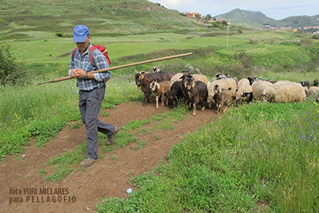 Santiago Betancort saca su ganado a pastar en La Laguna. | FOTO YURI MILLARES