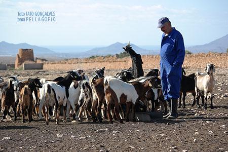 El ganado de Julián Díaz todavía sale a pastar, más para gastar pezuñas que porque vayan a encontrar mucho que comer. | FOTO TATO GONÇALVES