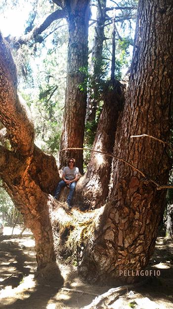 Siete grandes troncos salen de la también llamada 'Mano de King Kong'. | FOTO JUAN GUZMÁN