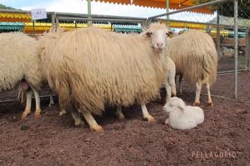 Ejemplares de oveja de raza palmera, en peligro de extinción, en la feria de ganado de San Antonio del Monte (Garafía, La Palma). | FOTO YURI MILLARES