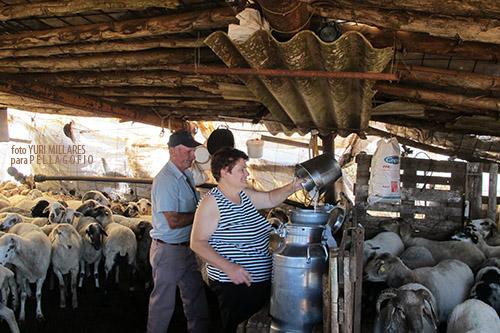 Flora y Nicasio (quesería Las Mesas, en Gáldar), durante el ordeño de las ovejas con el que hace queso de media flor. | FOTO YURI MILLARES