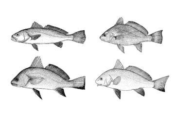 A la izquierda, corvina (arriba) y corvina negra. A la derecha, verrugatos canario (arriba) y ronchado.   ARCHIVO PELLAGOFIO
