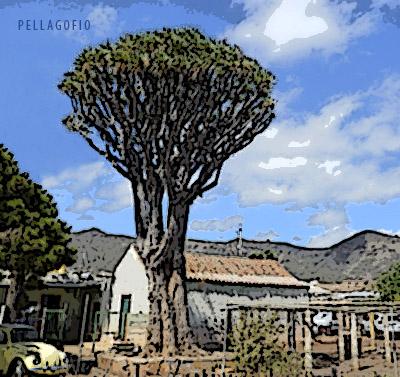 El Drago de Luis Verde forma parte de la heráldica del municipio de Valsequillo. | FOTO JUAN GUZMÁN