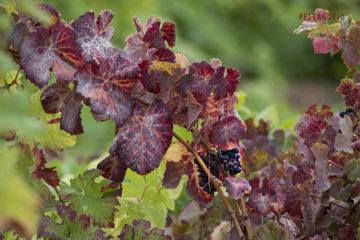 Racimo de baboso negro, una uva tan interesante para vinos monova-rietales, como para ensamblajes. | FOTO TATO GONÇALVES