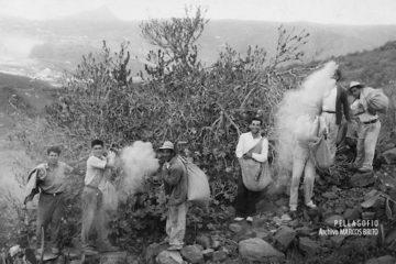 Espolvoreo de veneno a mano en Arona (Tenerife), durante la última gran invasión de la langosta (1958).| ARCHIVO MARCOS BRITO