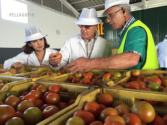 Recepción de tomate canario en el puerto de Rotterdam. | GUSTAVO RODRÍGUEZ