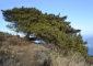 En Las Caletas (La Palma) sobrevive esta sabina de dos troncos con formas retorcidasl. | FOTO J. GUZMÁN.