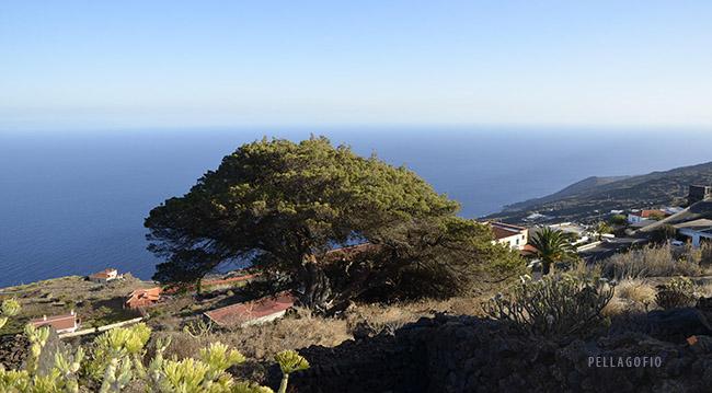 Las Caletas, un área salpicada por viviendas, pinos y contados ejemplares de viejas sabinas canariasl, como esta de la Hoya de la Cruz.   FOTO J. GUZMÁN