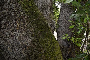 La Faya de las Vacas es un gran ejemplar constituido por cuatro potentes troncos principales. | FOTO JUAN GUZMÁN