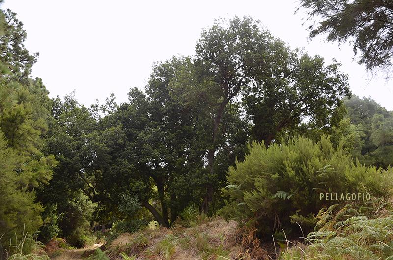 Junto a esta faya nacen otras dos, también multicaules (varios tallos). Todo el conjunto entrelaza una misma carpa verde de unos 20 metros de diámetro por 15 metros de altura. | FOTO JUAN GUZMÁN