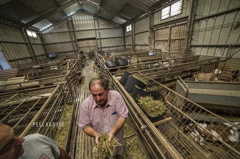 En la granja Llanomar las cabras son alimentadas con forraje variado a diario. | FOTO TATO GONÇALVES