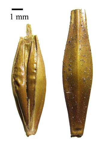 Semillas de cebada encontradas en el yacimiento arqueológico de la Cueva de las Estrellas, en Gran Canaria, datadas mediante el Carbono 14 entre el año 1000 y el 1400 de nuestra Era.