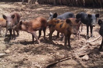 Lechones cimarrones en República Dominicana, con los colores que describen los mayores para los cerdos del monte gomero, negros, pero también marrones o manchados de negro y marrón.| ARCHIVO C. GUTIÉRREZ