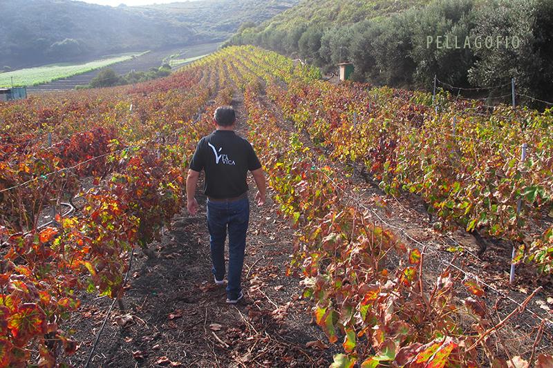El viñedo La Vica en Los Hoyos, comarca vitivinícola del Monte Lentiscal. | FOTO Y. MILLARES